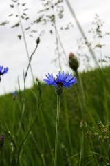 Flowers blue cornflower on a wheat field.Centaurea cyanus.