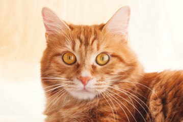 Cute red Cat - sweet pet - fluffy kitten
