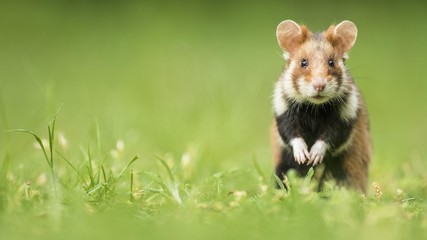 European hamster (Cricetus cricetus) standing on the hind legs, natural habitat, wild animal, Lower Austria, Austria, Europe