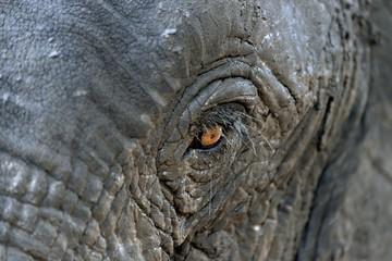 African bush elephant (Loxodohnta africana), eye, Mana Pools National Park, Mashonaland West, Zimbabwe, Africa