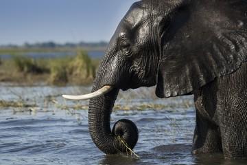 African bush elephant (Loxodonta africana) in River Chobe, portrait, Chobe National Park, Botswana, Africa