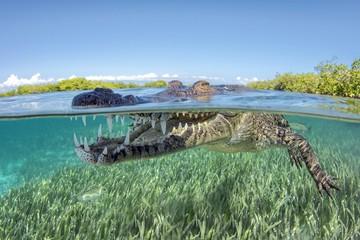 American crocodile (Crocodylus acutus), Underwater, Split-Level image, Jardines de la Reina, Cuba, Central America