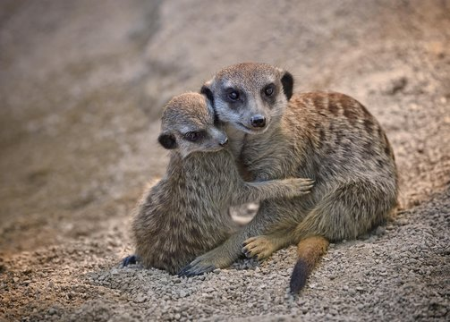 Baby meerkat cuddling with mother outdoors