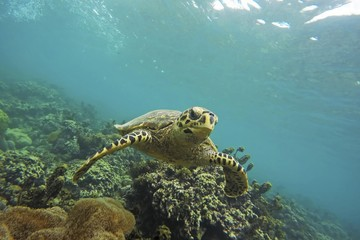 Green Turtle (Chelonia mydas) swims over reef, Seychelles, Africa