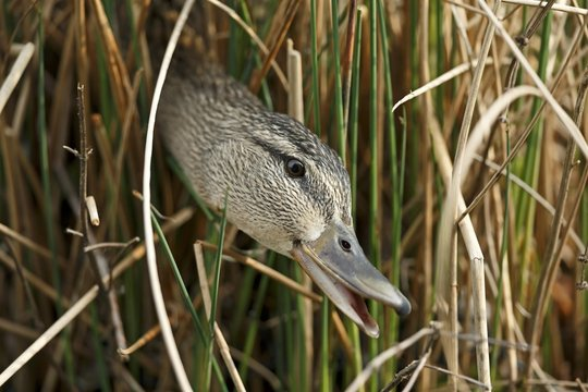 Mallard (Anas platyrhynchos) looking out of reeds, Germany, Europe