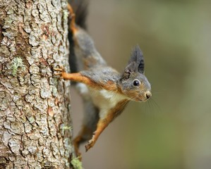 Eurasian red squirrel (Sciurus vulgaris), climbing a tree trunk, Grisons, Switzerland, Europe
