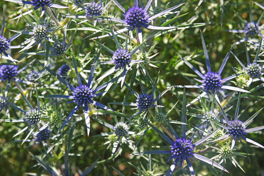 globe thistle with blue blossoms