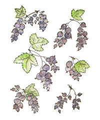 Bunches of black currant on the white background. Watercolour set.