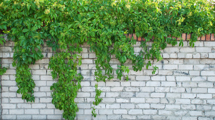 Green ivy covered wall as background image Wall mural