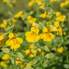 Blühende Gauklerblume, Mimulus guttatus
