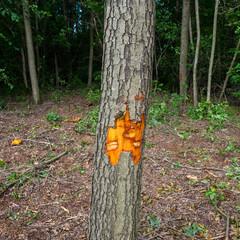 Alder tree marked for deforestation.