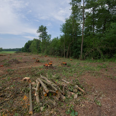 Abandoned cropped logs of alder trees are stored in a meadow.