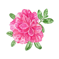 Pink azalea on the white background. Watercolor illustration.