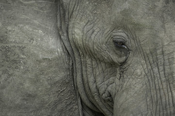 Close up portrait of an elephant's face, focusing on the eye