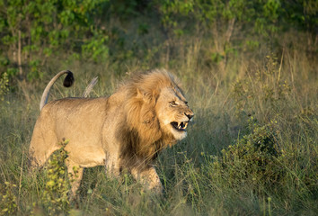 A snarling lion walks through the tall grasses on the Botswana savannah