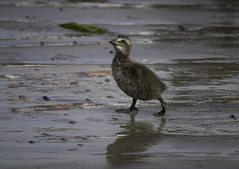 Eider duckling walking on the beach