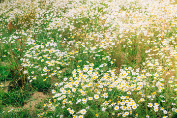 Chamomile field flowers. Beautiful summer nature scene with blooming medical chamomilles in sun flare. Herbal flowers