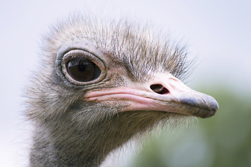 funny ostrich head close-up on a summer farm