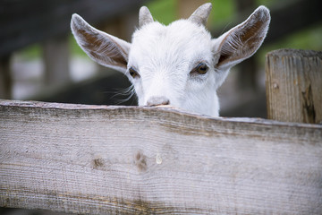 cute young goat on a summer farm behind a wooden fence