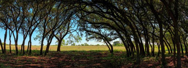 Live oak grove