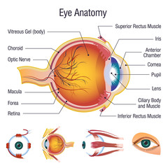 Eyeball infographic anatomy icons set. Cartoon illustration of 5 Eyeball infographic anatomy icons for web
