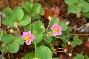 Pink flowers of strawberries