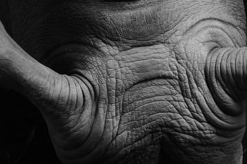 Nashorn Falten