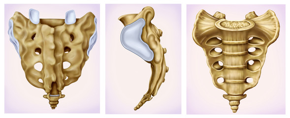 Illustration of three views of sacral bone, part of the spine and pelvis. Its main function is to transmit the weight of the body to the pelvic girdle.