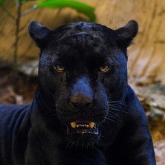 Papiers peints Panthère black panther shot close up