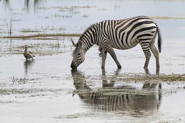 Kenia-Amboseli-Zebra-4488