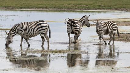 Kenia-Amboseli-Zebra-4487