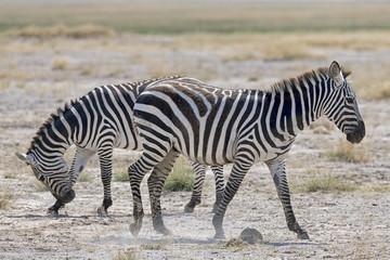 Kenia-Amboseli-Zebra-4917