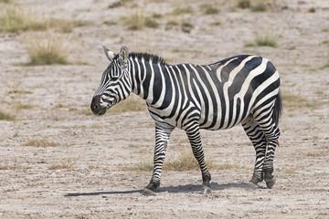 Kenia-Amboseli-Zebra-4933