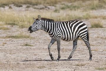 Kenia-Amboseli-Zebra-4937
