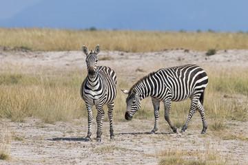 Kenia-Amboseli-Zebra-4939