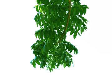 Green leaf of Neem tree style and shape isolated on white background.