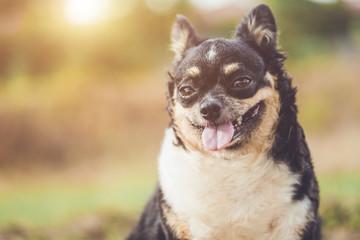 Headshot of cute Chihuahua dog on blur background