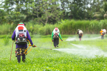 Farmer with machine and spraying chemical to young green rice field