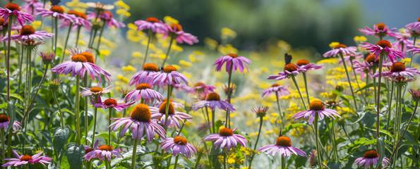 The panoramic view garden flower - Echinacea purpurea; coneflower