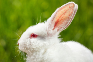 white rabbit close-up on green background