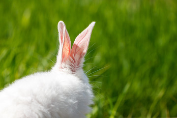 the ears of a white rabbit on a green background