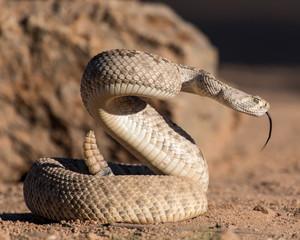 Rattlesnake Tongue