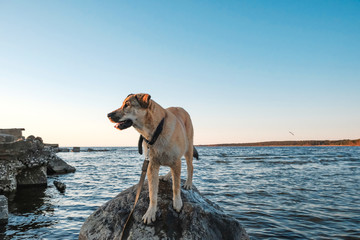 funny pictures of puppy Golden Retriever at sunset on the sea