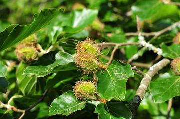 close up of a beech tree with female flowers