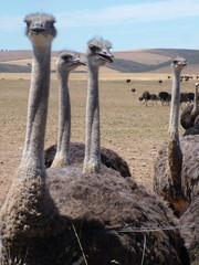 Deurstickers Struisvogel Group of ostriches near Heidelberg, Western Cape Province, South Africa