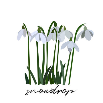 snowdrop vector illustration.  spring flowers. first signs of spring. spring symbol.