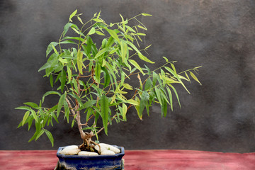 eucalyptus bonsai on blue pot