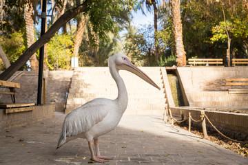 Pelican at Golshan Garden, Tabas, Khorasan, Iran