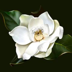 Beautiful white Magnolia closeup on green background