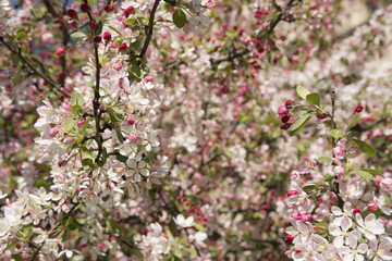 Blossoms of apple tree in spring in sunny day